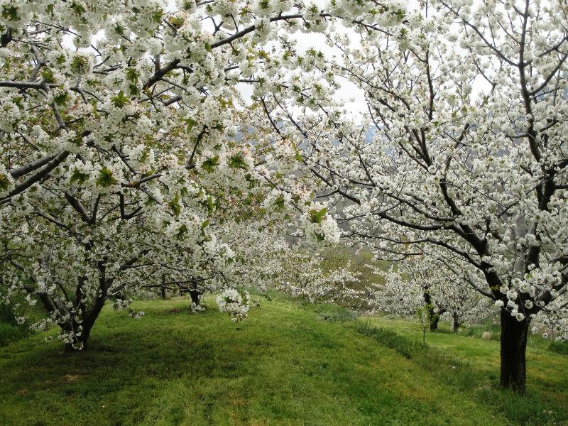 Disfrutar del espectáculo florido del valle del Jerte y sus cerezos GRATIS