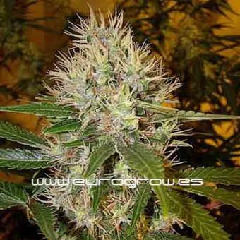 Semillas de marihuana para coleccionistas interesados.