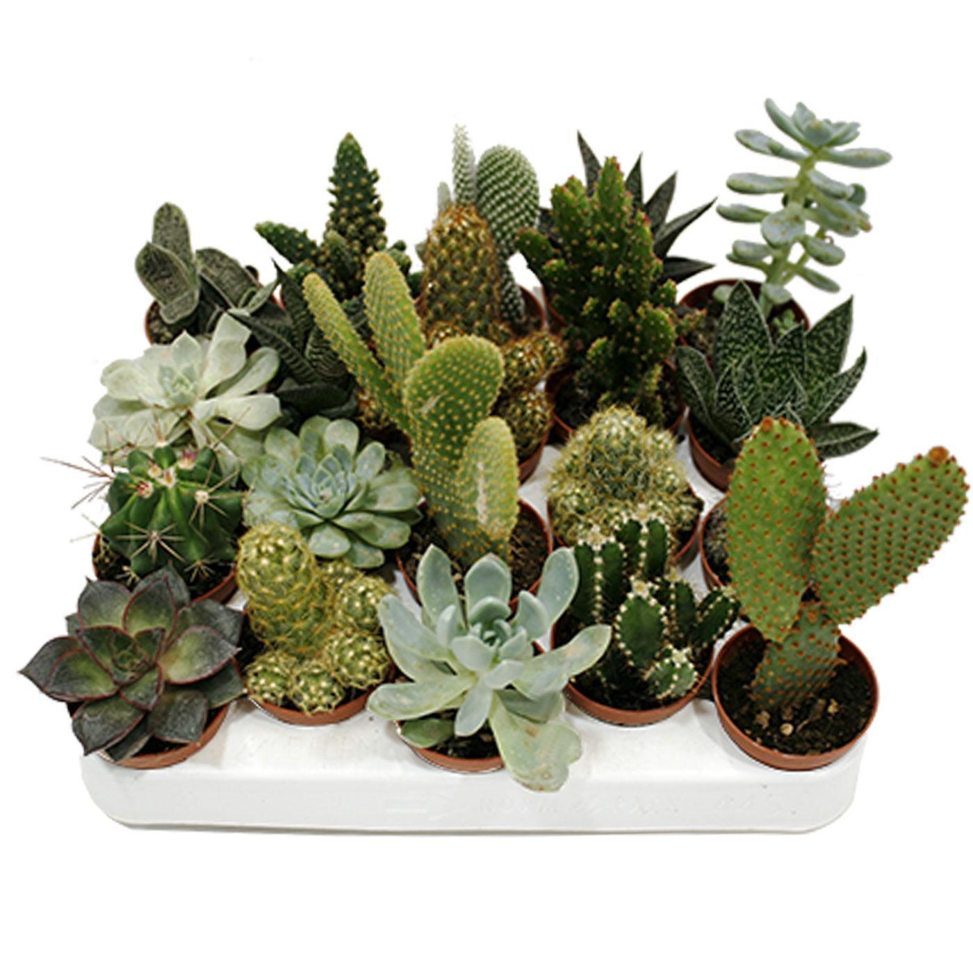 Cactus suculentos a 0,99€ la unidad