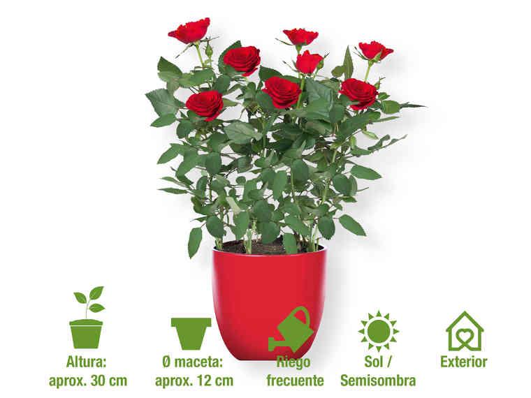 Rosal mini Diferentes colores - Lidl - 2,49EUR