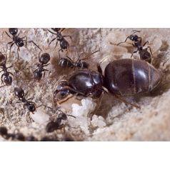 Hormigas gratis pagando gastos de envío