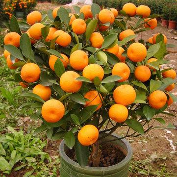 30 semillas de bonsai de naranjas comestibles