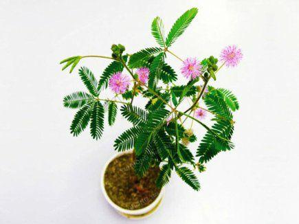 Mimosa Pudica (Paquete de 30 semillas)
