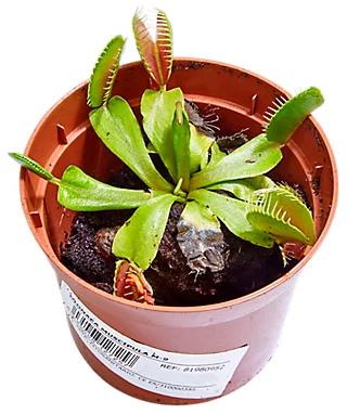 Planta atrapamoscas (Dionaea Muscipula) barata *NO ES CHOLLO AGOTADO*