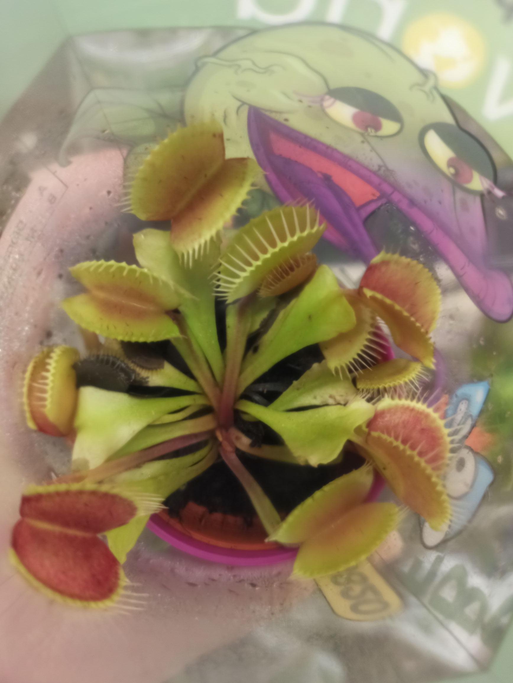 Plantas carnívoras en lidl Ortigosa