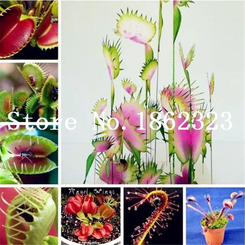 100 semillas plantas carnívoras