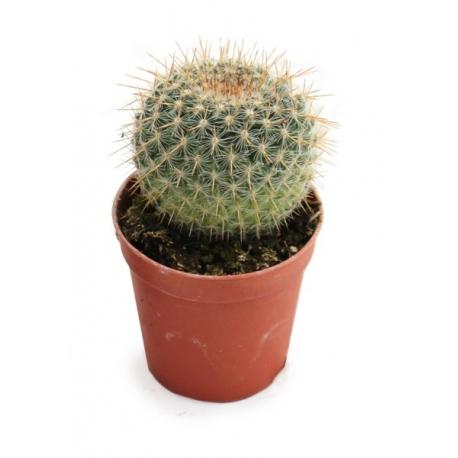 Surtido de cactus