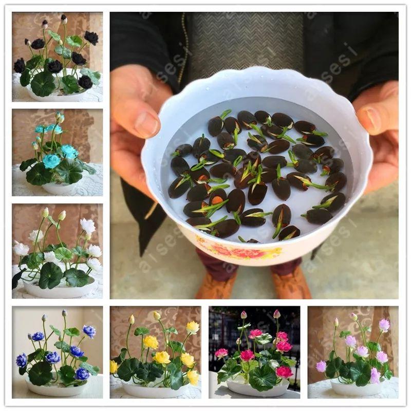 10 semillas de flor de loto casi regaladas.